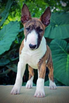 Bull Terrier Puppy Dogs