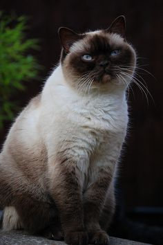 Whats Grumpy Cats Breed