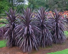 Cordyline 'Burgundy Spire' - mix with some dark canna lillies for a dramatic backdrop.