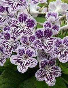 Lovely little violets