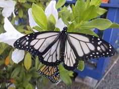 White Monarch Butterflies are a naturally occurring, but rare variant of the standard orange Monarch. This color appears in roughly 1% of the Monarch population.