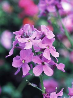 Dame's Rocket  A beautiful, old-fashioned annual, dame's rocket produces phlox-like clusters of lavender or white flowers in late spring. The flowers are delightfully fragrant.  Name: Hesperis matronalis  Growing conditions: Full sun or part shade and well-drained soil  Height: To 4 feet tall