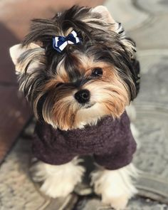 """Discover even more relevant information on """"Yorkshire terrier puppies"""". Look at our web site. Cute Baby Dogs, Cute Little Puppies, Cute Dogs And Puppies, Cute Little Animals, Cute Funny Animals, Biewer Yorkie, Teacup Yorkie, Yorkies, Yorkie Puppy"""