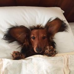 """3,557 Likes, 61 Comments - @doxiewatches on Instagram: """"Ahhhhhh, welcome weekend ❤️❤️ love the pic @djangothegent #dachshund #dachshundoftheday…"""""""