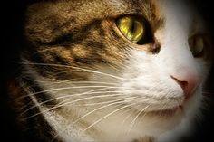 Kissa, Lemmikki, Cat'S Silmät