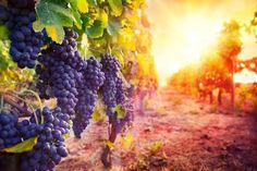 Get Discount Tourist Attractions 2017 - Vineyard Tour & Tasting for 2 - 12 Locations! for just: Vineyard Tour & Tasting for 2 - 12 Locations! Malbec, Cabernet Sauvignon, Design Shop, Book Design, Grape Types, Third Temple, Barolo Wine, Temecula Wineries, Learn Hebrew