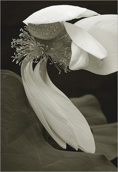 Bahman Farzad | White Lotus Flower