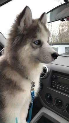 My beautiful husky puppy My beautiful husky puppy husky love Siberian Husky Facts, Siberian Husky Puppies, Husky Puppy, Ft Tumblr, Photo Animaliere, Baby Pugs, Adoption, Cute Dogs And Puppies, Kawaii