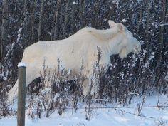 Albino Moose, Saskatchewan, Canada. Aboriginal Peoples of the prairies considered the birth of albino animals sacred omens.
