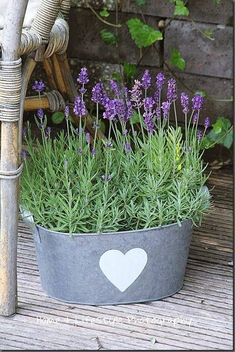 Love lavender in a galvanized bucket! - Gardening Is My Life Beautiful Flowers, Lavender Fields, Lavender Garden, Lavender Blue, Lavender Cottage, Garden Containers, Plants, Planting Flowers, Lavender Plant