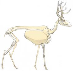 How to Draw a Deer: anatomy