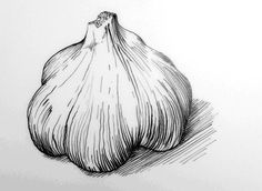 Garlic botanical drawing. From Ed Smith's personal library ...