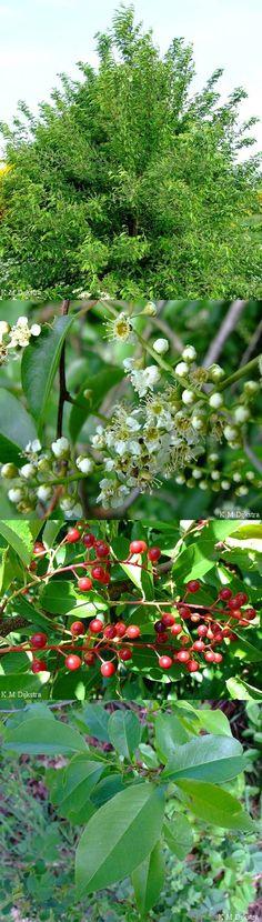 Amerikaanse vogelkers - Prunus serotina