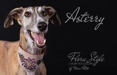 Asterry - flora style dog collar - by Marc Petite Dog Perfume, Perfume Testers, Designer Dog Collars, Handmade Dog Collars, Lavender Roses, Collar Designs, Brass Buckle, Big Flowers, Star Shape