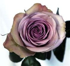 amnesia rose I love the antique color to this rose Lavender Roses, Purple Flowers, Rose Flowers, Lavender Hair, Lavender Fields, Cut Flowers, Beautiful Roses, Beautiful Flowers, Beautiful Bouquets