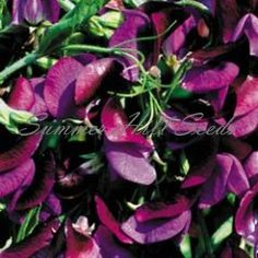 Sweet Pea Matucana  $2.45  An heirloom dating back 300 years, this cherished variety has deep blue flowers with purple wings and emits a sweet intoxicating fragrance. Climbing 4-6 feet, Matucana is easy to grow in well drained soil in full to part sun. Ideal for cut flowers. Pkt. 10