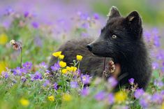 The rare beauty of the black Fox 07