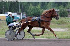 Harness racing: Finnhorse mare Suvi Kevätön