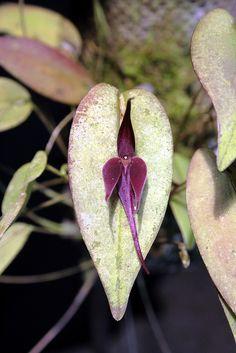 Pleurothallis forceps-cancri, by Mikaels orchids, via Flickr