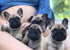 Madame Brigitte, Monsieur Burnier, Monsieur Bernard & Monsieur Belmont World Winner, Dog Show, Dog Training, French Bulldog, Dog Lovers, Puppies, Dogs, Animals, Cubs