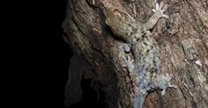 #Subterfuge de reptile: un gecko abandonne ses écailles pour échapper à ses prédateurs (vidéo) - Sudinfo.be: Sudinfo.be Subterfuge de…