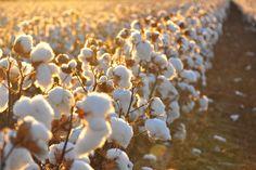 Por que escolher o algodão orgânico?