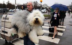 Old English ... grin Sheepdoghttp://www.telegraph.co.uk/lifestyle/pets/10680498/Crufts-2014-the-worlds-biggest-dog-show-in-pictures.html?frame=2844536