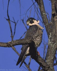 Peregrine Falcon (photo by Jack Bartholmai)