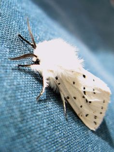 White Ermine Moth taken 2012