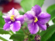 How to Trim an African Violet