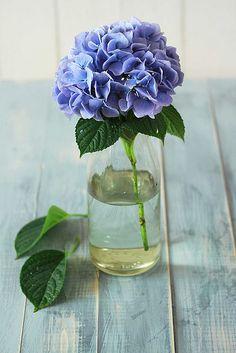 Single blue hydrangea in vase - (flowers, blooms, blossoms, posies) Hortensia Hydrangea, Bloom, Deco Floral, Planting Flowers, Flowers Garden, Floral Arrangements, Flower Arrangement, Beautiful Flowers, Wedding Flowers