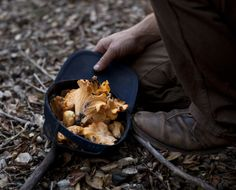 Girolles in autumn