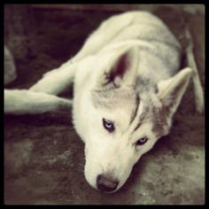 Siberian husky,husky facts, husky puppy #siberianhusky