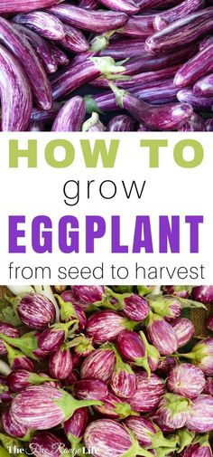 Learn how to grow eggplant in your organic vegetable garden. Tips on starting from seed, care, and harvest!