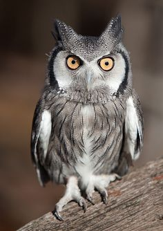 Whitefaced Owl.   Often confused with African Scops Owls the Whitefaced Owl is the only other small owl that has ear tufts.  Whitefaced Owl has a definitive white face with distinctive black edging.   The orange eyes are diagnostic as Scops has yellow eyes.  Photo: Jack Nevitt