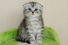 Scottish Fold Kitten | Cattery Dutchfold | kittentekoop.nl