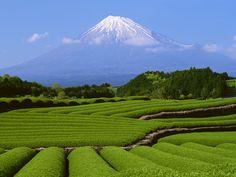 with green tea garden  http://www.sakura-cafe.asia/jimbocho/blog/2011/09/a-beautiful-green-tea-garden.html