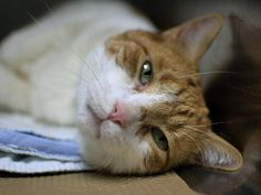 TO BE DESTROYED 8/12/14 ** THIRD CHANCE!! Mishu was at the front of the kennel soliciting attention, once the door was open he continue to be calm and friendly. Allows petting, attention and was easy to handle ** Brooklyn Center  My name is MISHU. My Animal ID # is A1008822. I am a neutered male white and org tabby domestic sh mix. The shelter thinks I am about 2 YEARS  I came in the shelter as a STRAY on 08/01/2014 from NY 11206