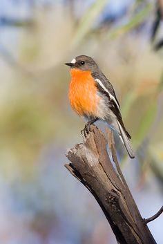 Flame Robin(Petroica phoenicea) is a small passerine bird native to Australia. It is a moderately common resident of the coolest parts of south-eastern Australia, including Tasmania.