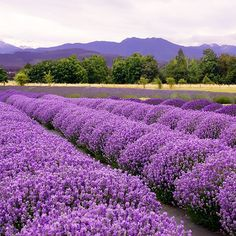 Sequim Lavender -- Sequim WA