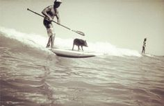 The Paddle Surfing Pig  | SUP Magazine