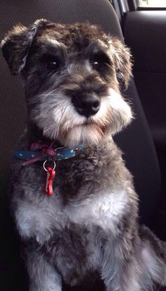 Arnie the schnauzer absolutely adorable