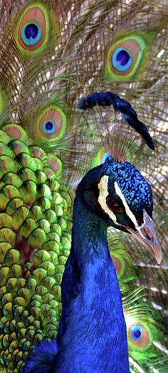 The colourful male #peacock uses his stunning feathers to impress females.