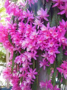 Flor de Maio - Epiphyllum, my favorite Color.