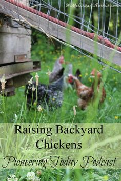 Raising backyard chickens. Love the tips on what to expect, pros and cons of free range chickens, and reasons to buy laying hens. Knowing how to do things before you  have to is key in preparedness.