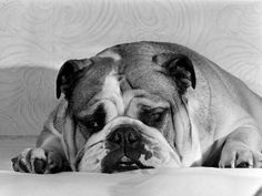 Bruce the Old English Bulldog Not Feeling His Best, November 1978 Photographic Print at Art.com
