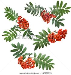 Bunch of red rowan berries  Collection Close up isolated on white - stock photo