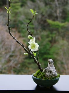 white quince;penjing planting. in small round pot w/ rock