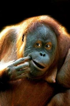 Orangutan ~ Seriously is he thinking about something you 2 said..what did you say to him?? Funny guy he is , makes gramma laugh
