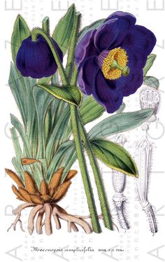 Spectacular Violet Flowers Antique Botanical Print Vintage Flower Illustration Digital Fowers Download Floral Art